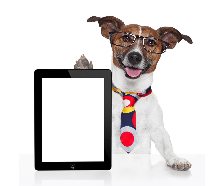 Фотографии Джек-рассел-терьер Планшетный компьютер собака Галстук Очки Шаблон поздравительной открытки Животные белым фоном Планшет Собаки галстуке галстуком очках очков животное Белый фон белом фоне