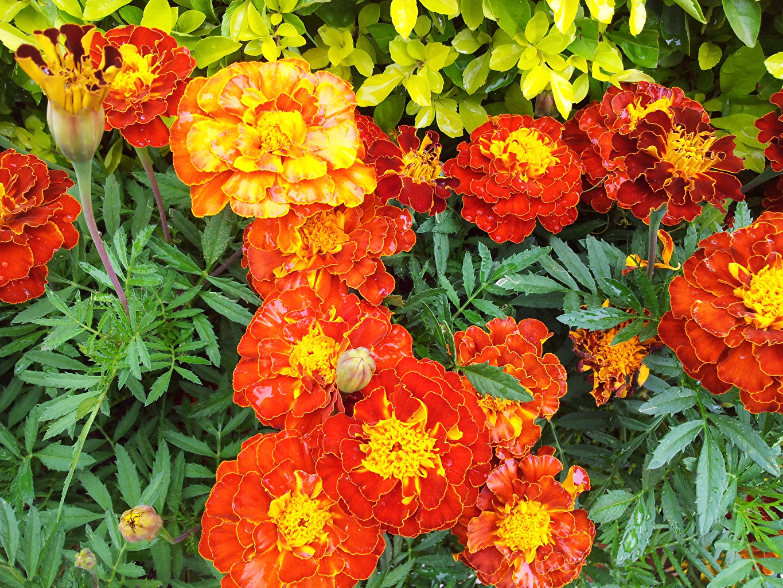 Фотография оранжевая Цветы Бархатцы Бутон Крупным планом Оранжевый оранжевые оранжевых цветок вблизи