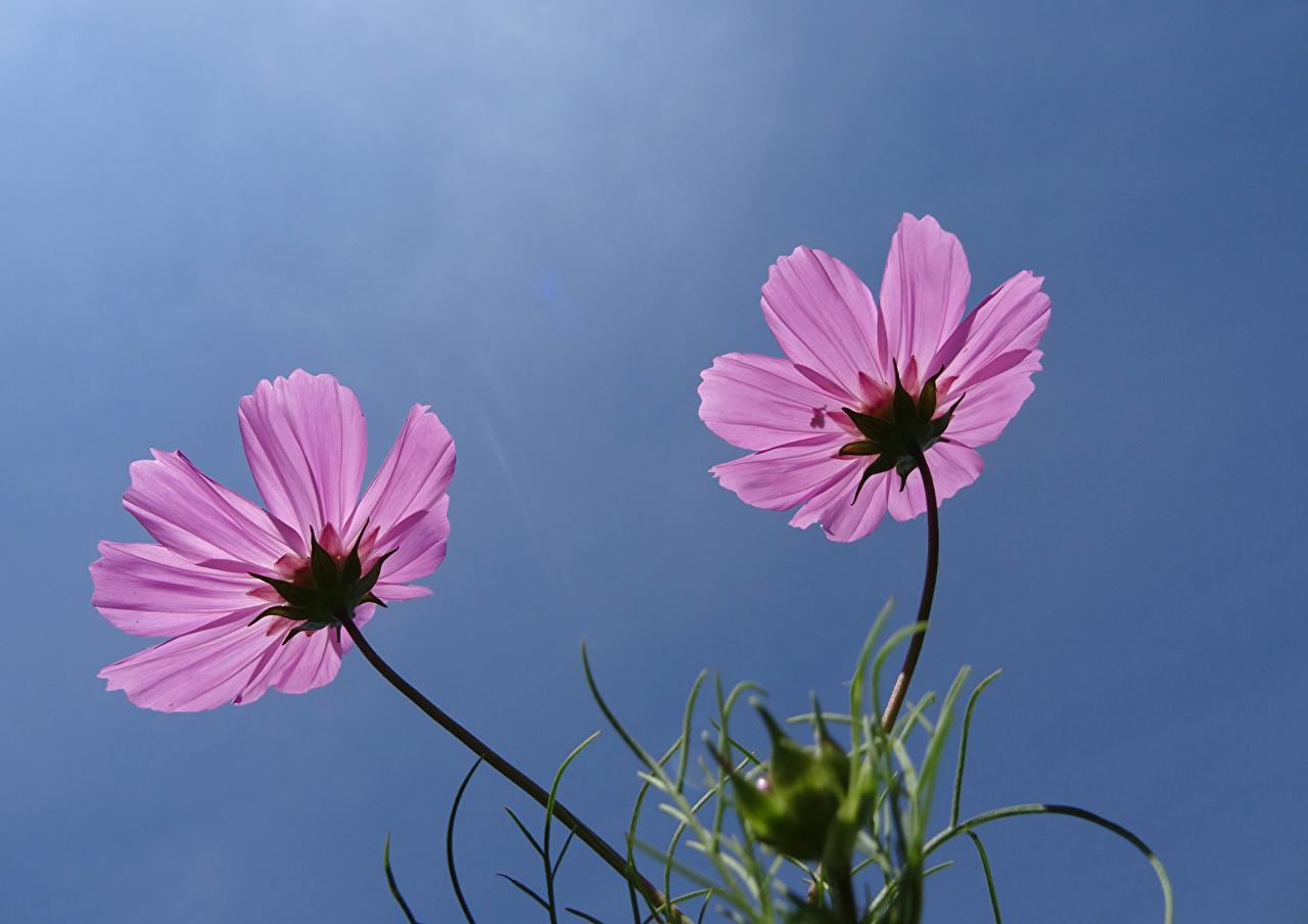 Фотография 2 розовых Цветы Космея Крупным планом два две Двое вдвоем Розовый розовая розовые цветок вблизи