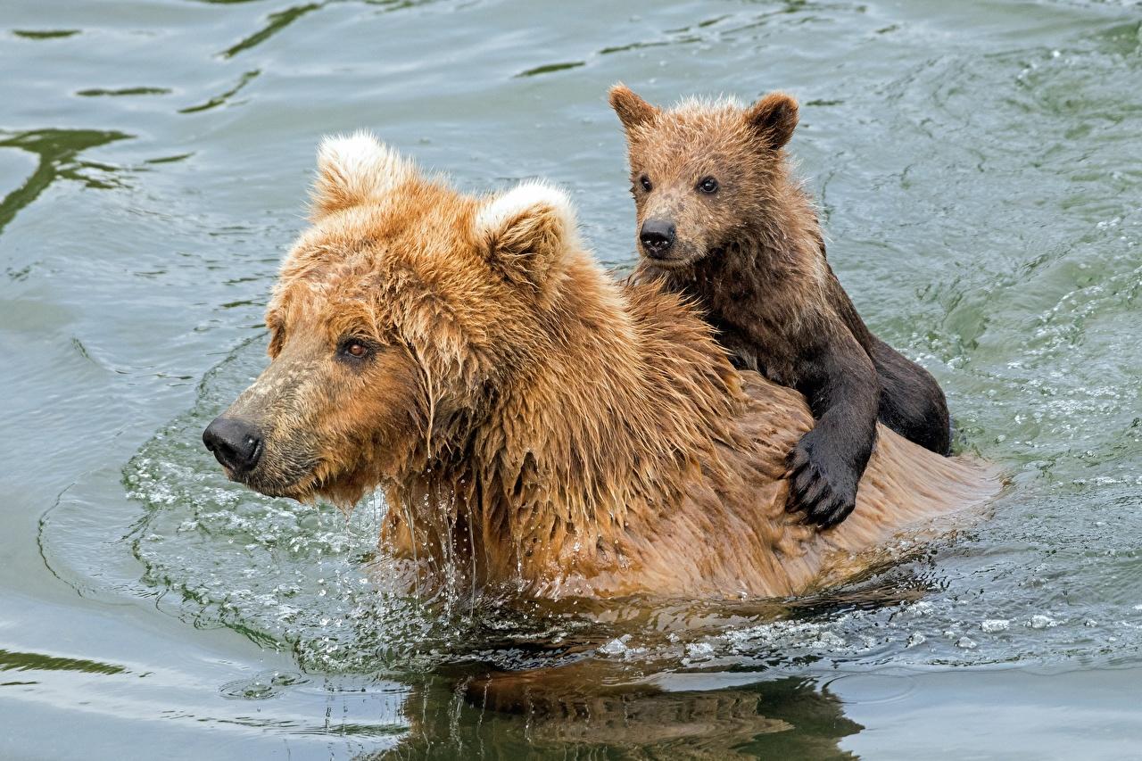 Фотография Гризли Плывет медведь Детеныши Двое Вода Мокрые Животные Бурые Медведи плывут плавают плавает Медведи плывущий плавающий 2 два две вдвоем воде влажные животное