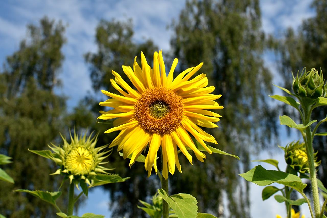 Обои для рабочего стола Размытый фон желтых Цветы Подсолнечник Крупным планом боке желтая желтые Желтый цветок Подсолнухи вблизи