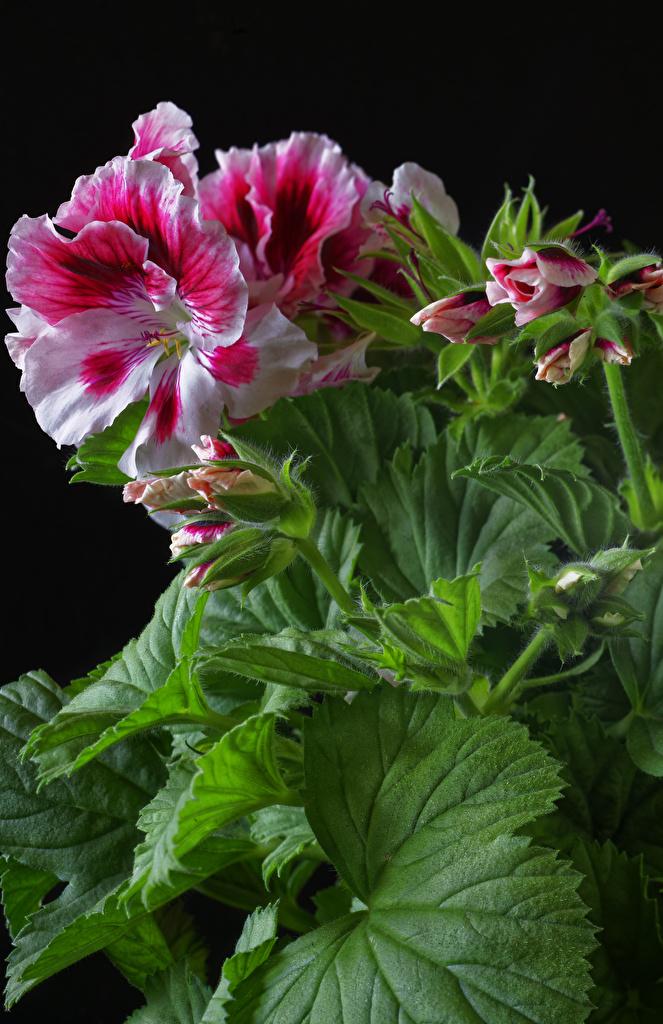 Обои для рабочего стола Листья Цветы Герань Бутон вблизи Черный фон  для мобильного телефона лист Листва цветок журавельник на черном фоне Крупным планом