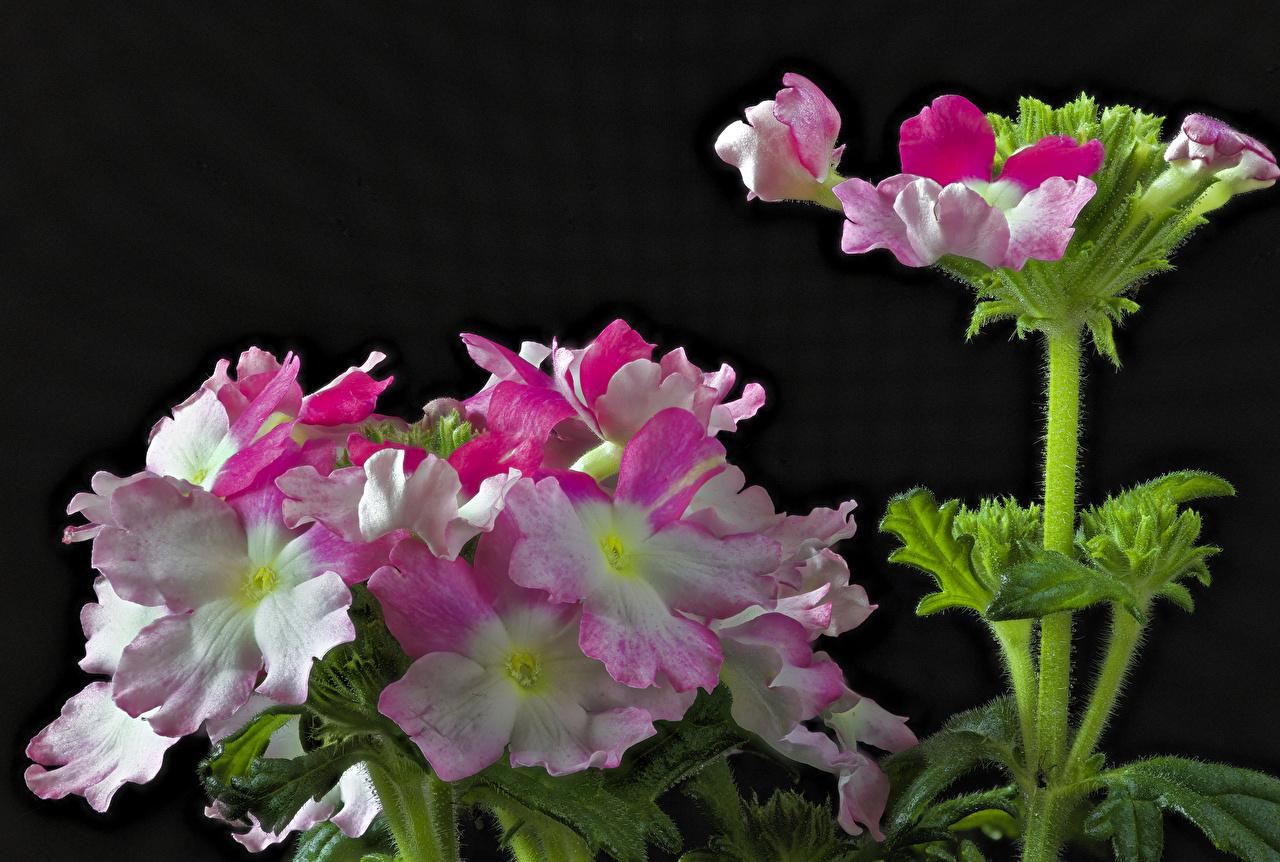 Картинки Цветы Вербена на черном фоне Крупным планом цветок вблизи Черный фон