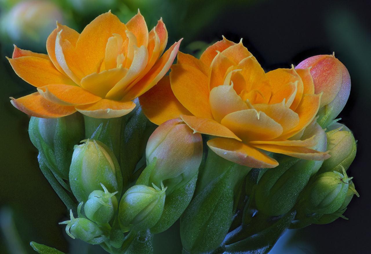 Фотографии оранжевых Цветы Каланхое Бутон вблизи Оранжевый оранжевые оранжевая цветок Крупным планом