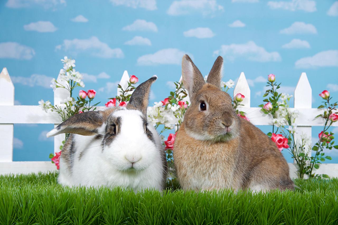 Фотография Кролики 2 роза Трава Животные две два Двое Розы вдвоем траве животное