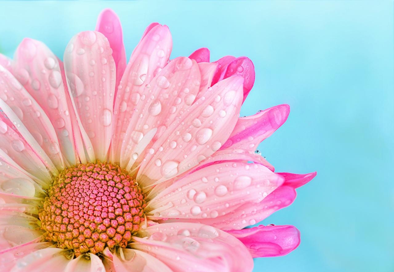 Картинка розовые Цветы капельки Маргаритка Крупным планом розовая Розовый розовых капля Капли капель цветок вблизи