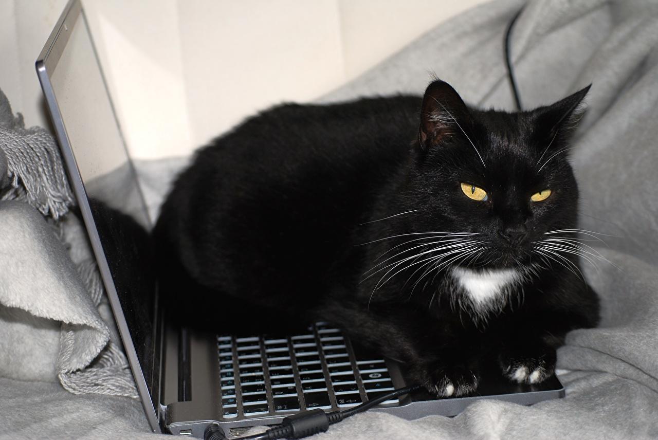 Фото Ноутбуки Коты Черный Усы Вибриссы Взгляд Животные Кошки смотрит