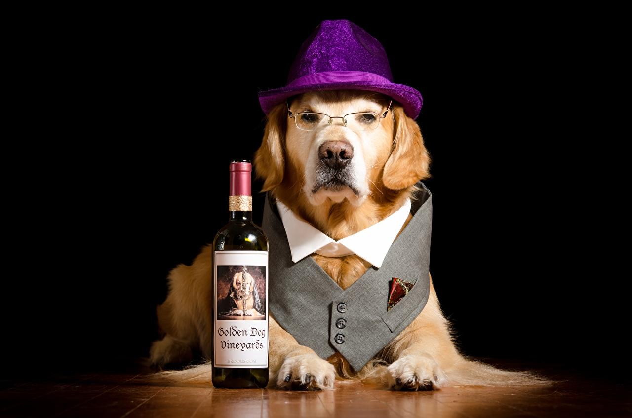 Картинка Лабрадор-ретривер собака Смешные шляпе Лапы очках Бутылка смотрят животное Собаки смешной смешная забавные шляпы Шляпа лап Очки очков бутылки Взгляд смотрит Животные
