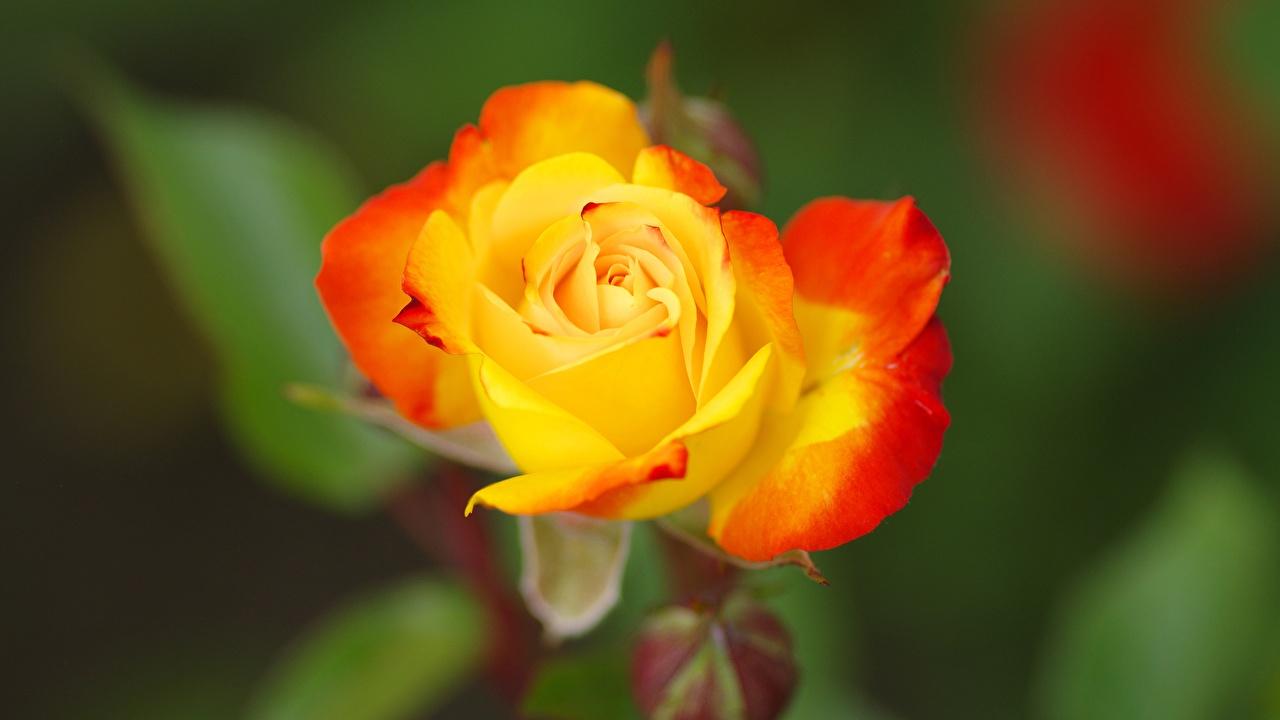 Картинка боке роза Желтый цветок Крупным планом Размытый фон Розы желтая желтые желтых Цветы вблизи