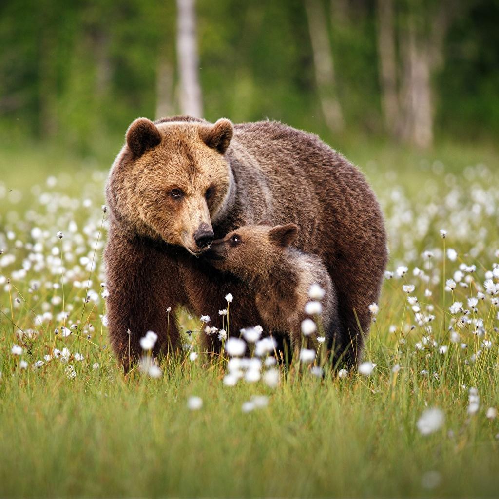 Фотографии Бурые Медведи Медведи Детеныши Двое Трава Животные Гризли 2 вдвоем