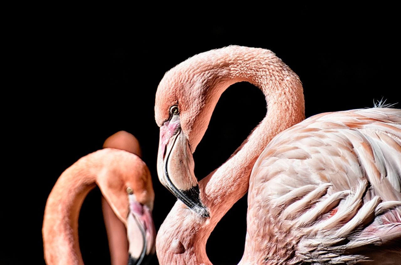 Фотографии Фламинго Клюв вблизи Животные Черный фон Крупным планом