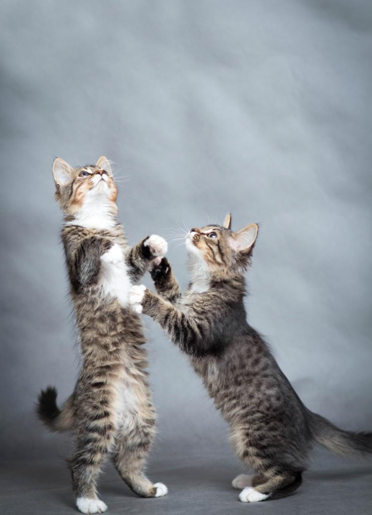 Фотографии Котята Кошки Двое Животные Коты 2 вдвоем