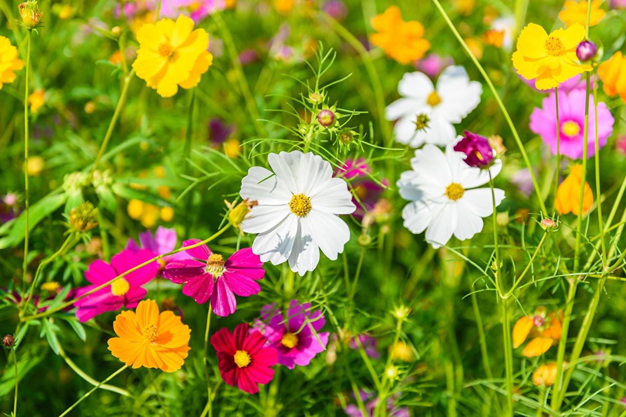 Фотографии Лето Луга Цветы Космея цветок