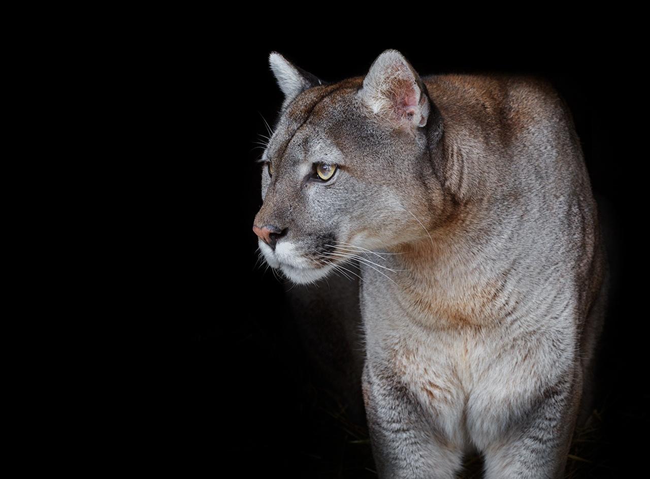 Фото Пумы Взгляд Животные Черный фон смотрит