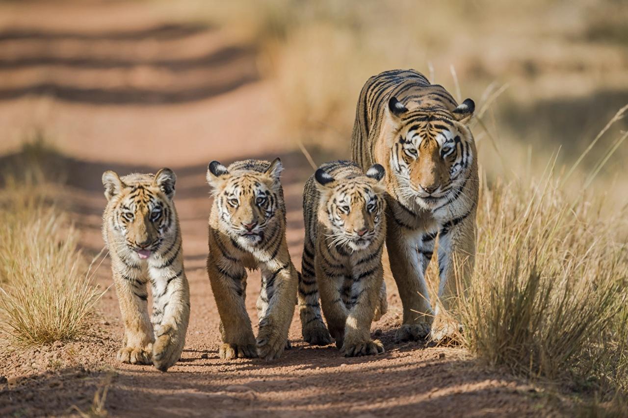 Фотография Тигры Детеныши 5 Животные