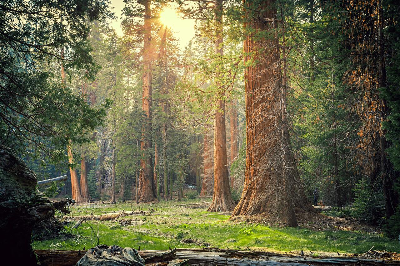 Фотографии калифорнии штаты Sequoia National Park Природа Леса Парки дерева Калифорния США дерево Деревья деревьев