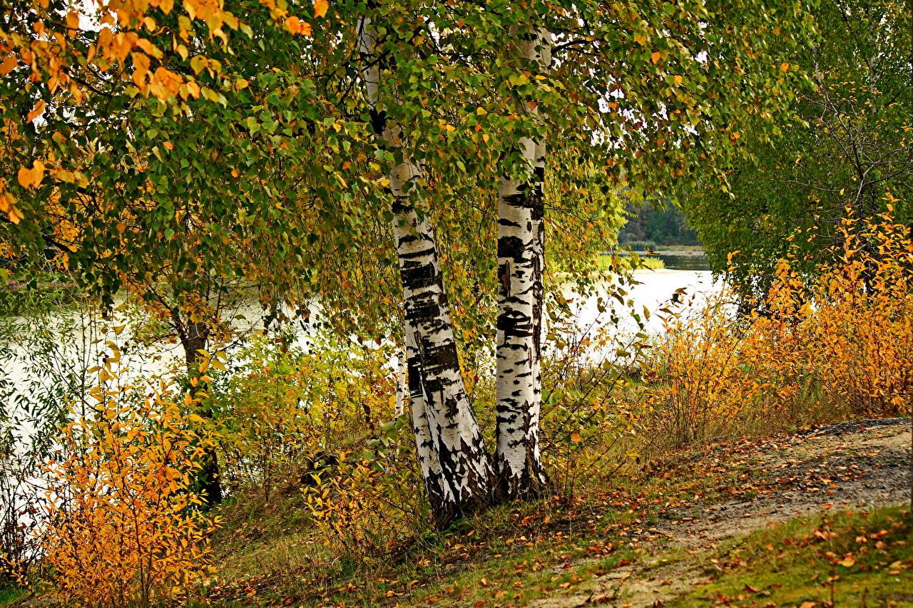 Обои березы, осень. Природа foto 13