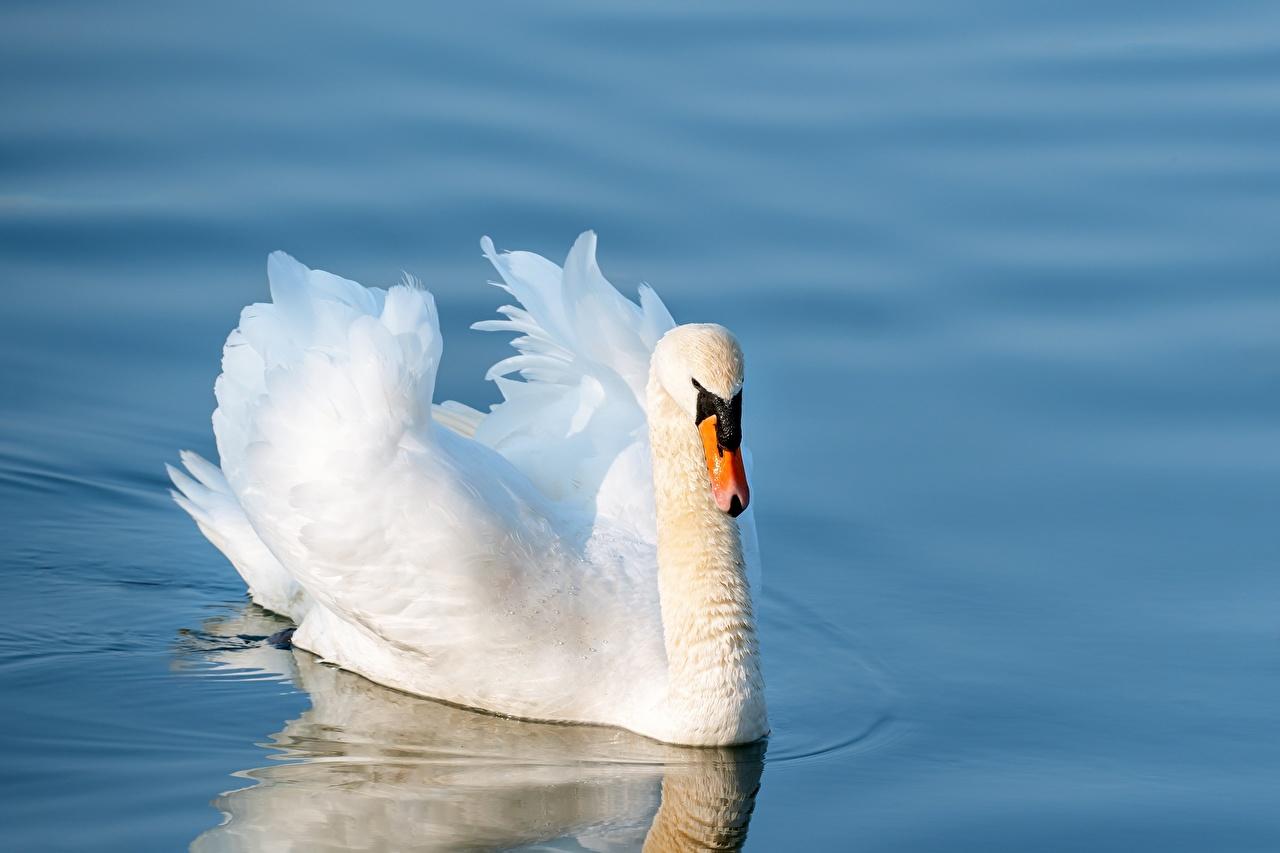 Картинки Птицы лебедь Плывет белые воде Животные птица Лебеди плывут плавает плавают плывущий плавающий белая Белый белых Вода животное