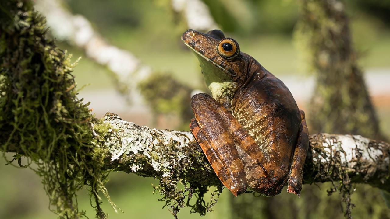 Фотография лягушка dendrobates Ветки животное Лягушки ветвь ветка на ветке Животные