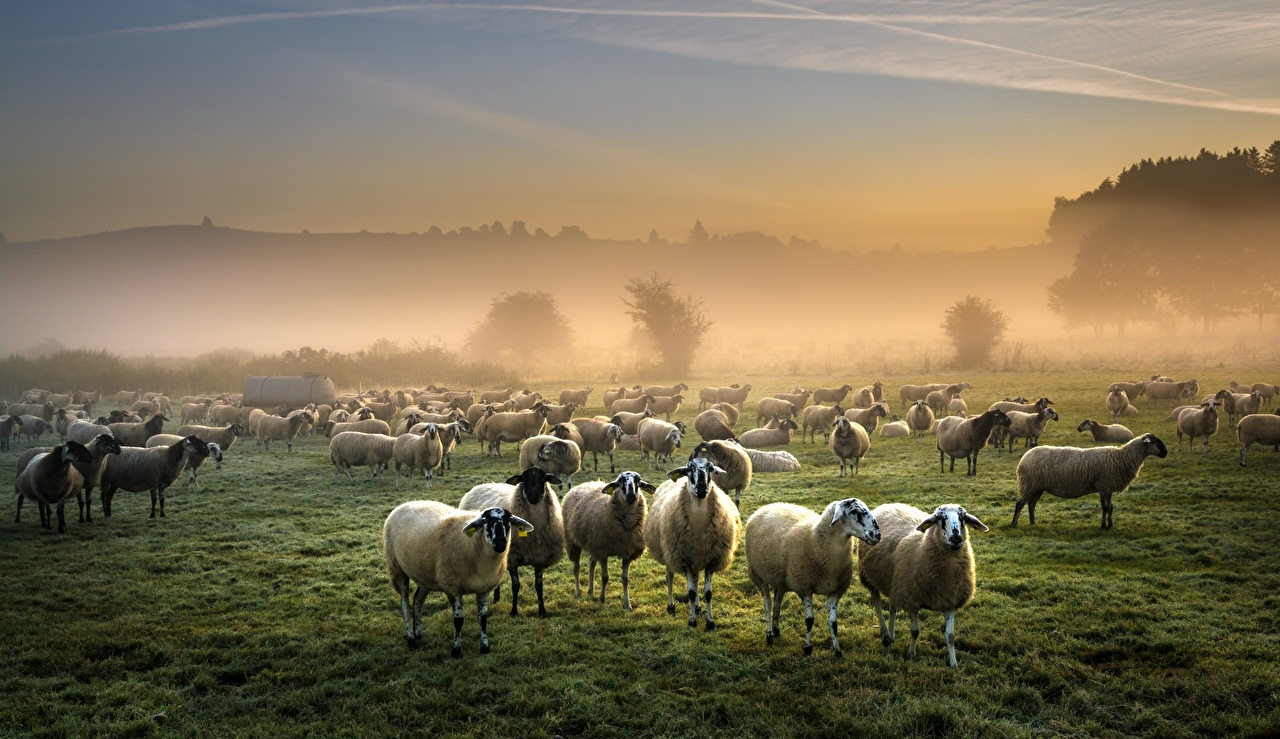 Фото Овцы Стадо тумане Луга Много Животные Туман тумана животное