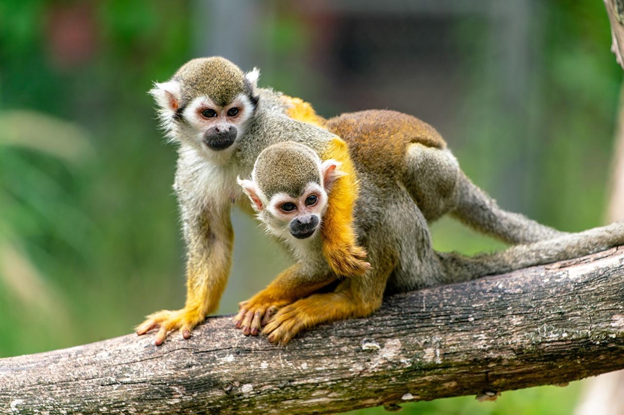 Фото обезьяна squirrel monkey 2 Объятие Ствол дерева животное Обезьяны два две Двое вдвоем обнимает обнимаются Животные