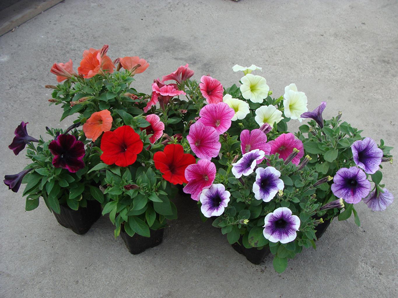 Фото Разноцветные Цветы петуния цветок Петунья