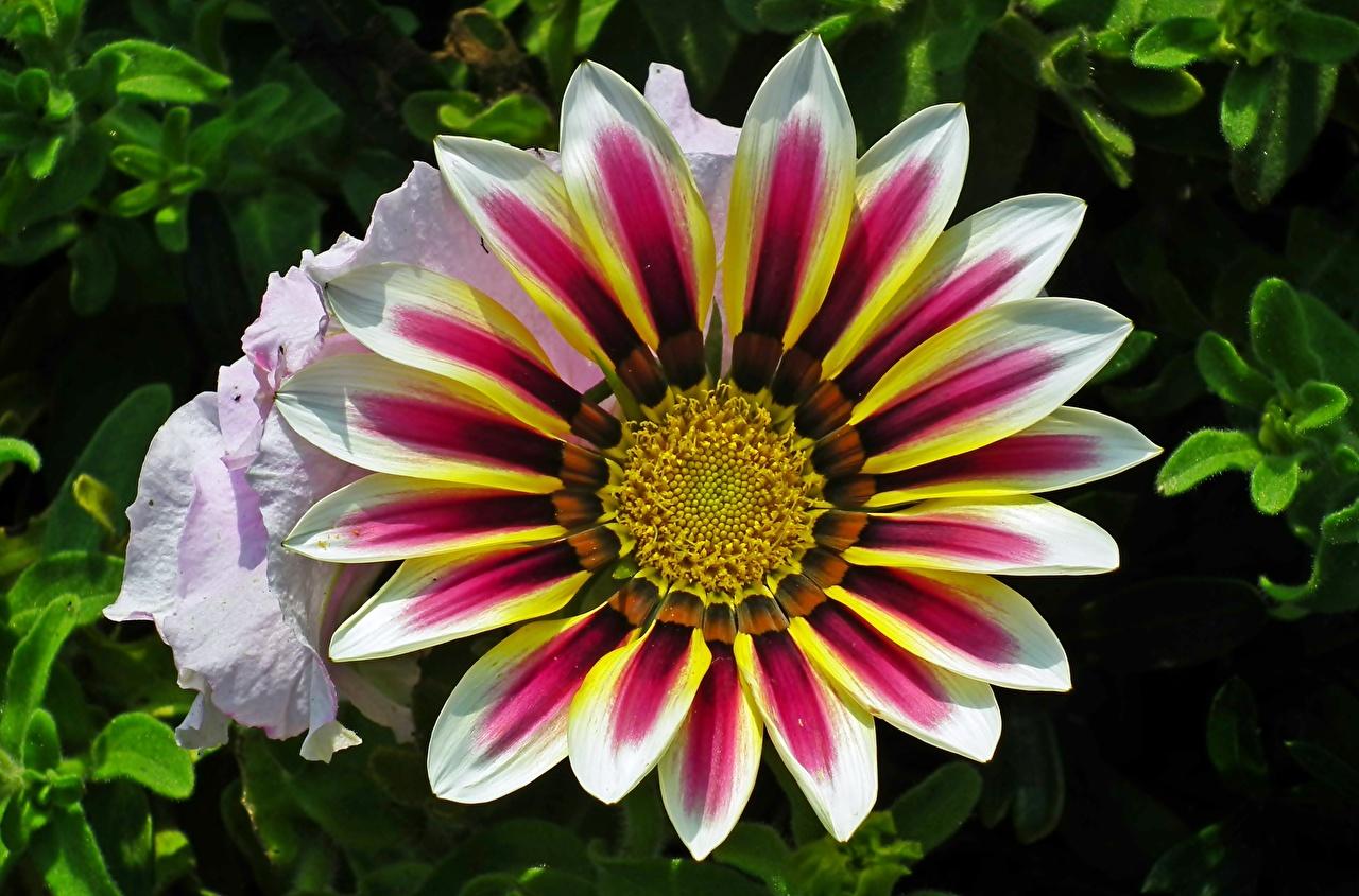 Картинка Цветы Газания Крупным планом цветок вблизи