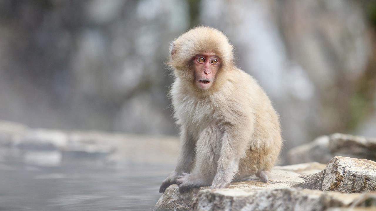 Фотографии обезьяна Japanese macaque Животные Обезьяны животное