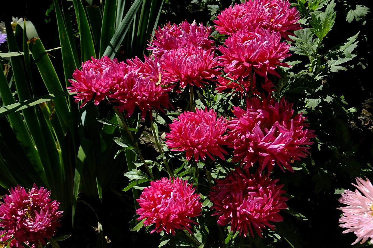 Фото Бордовый Цветы Астры Крупным планом вблизи