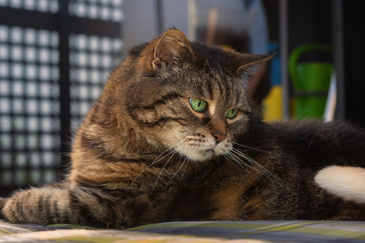Обои для рабочего стола кот Морда Взгляд Животные коты Кошки кошка морды смотрит смотрят животное