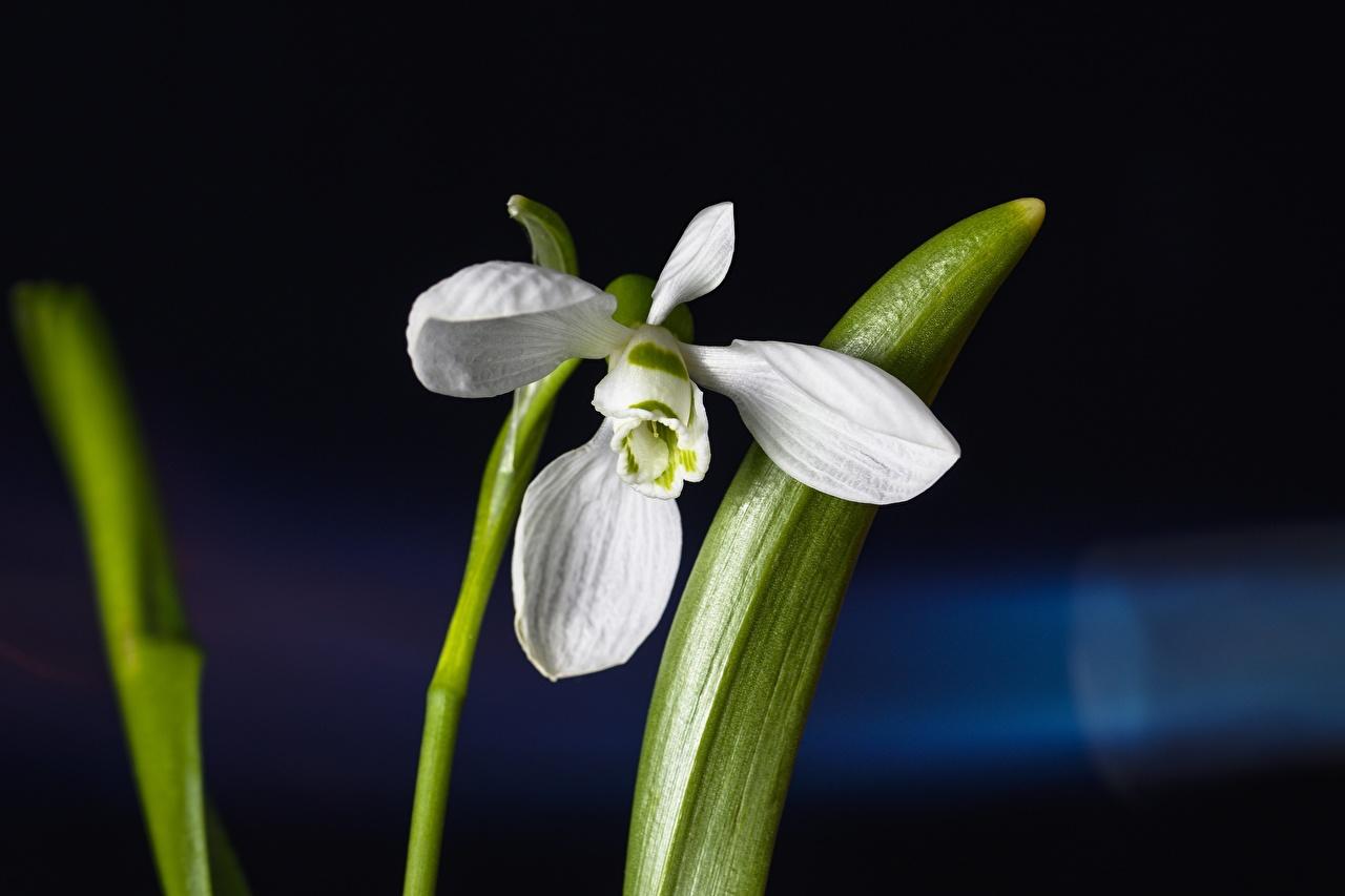 Фотография Размытый фон белых цветок Подснежники вблизи боке белая белые Белый Цветы Галантус Крупным планом