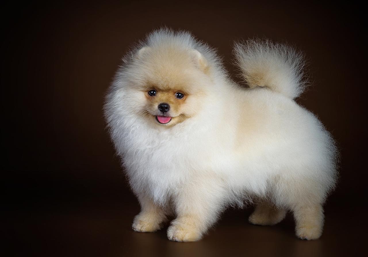 Фотография Шпиц Собаки Белый Животные шпица шпицев собака белых белые белая животное