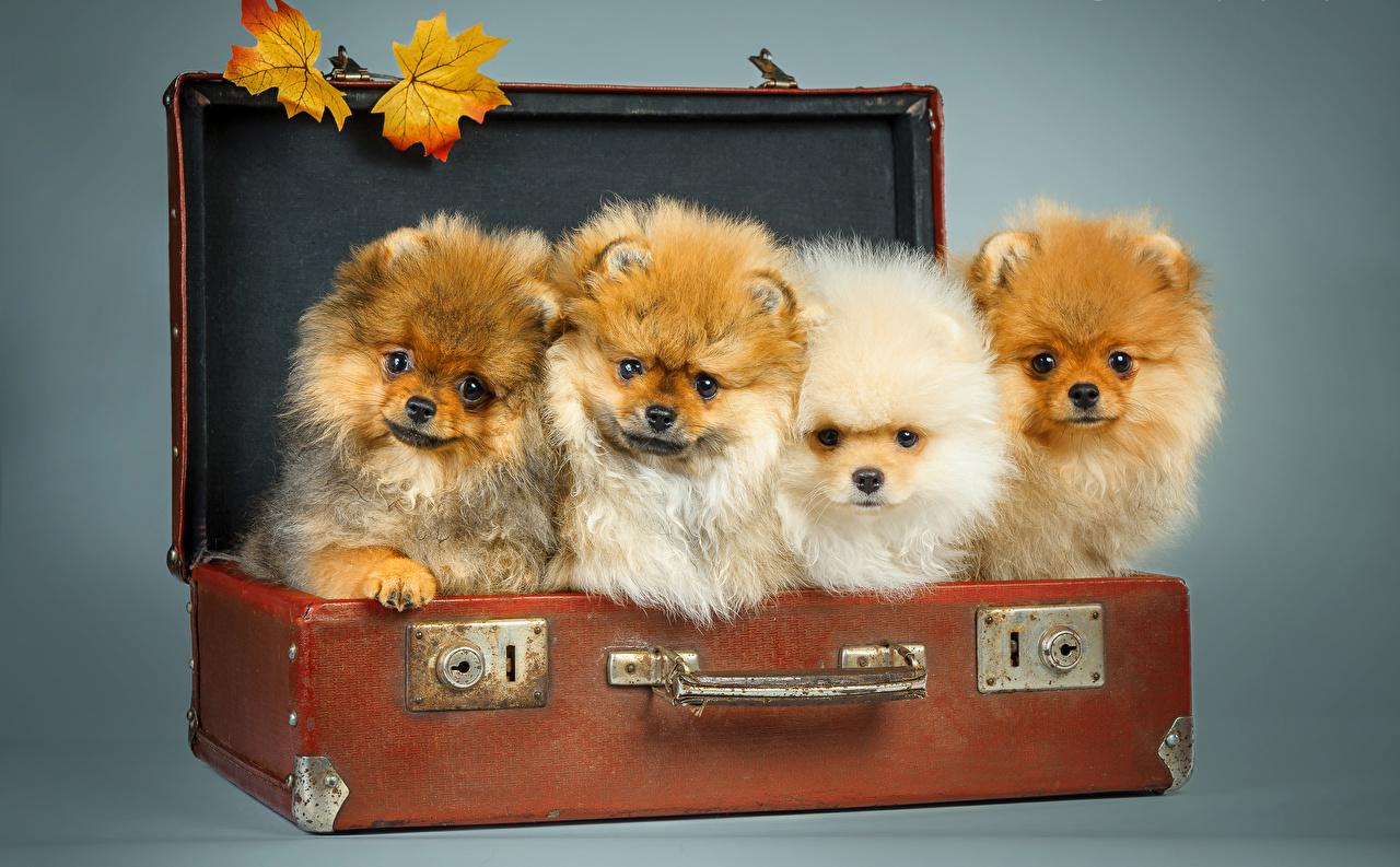 Картинка Шпиц Собаки Листья Чемодан Взгляд Животные шпица шпицев лист Листва чемоданы чемоданом смотрят смотрит