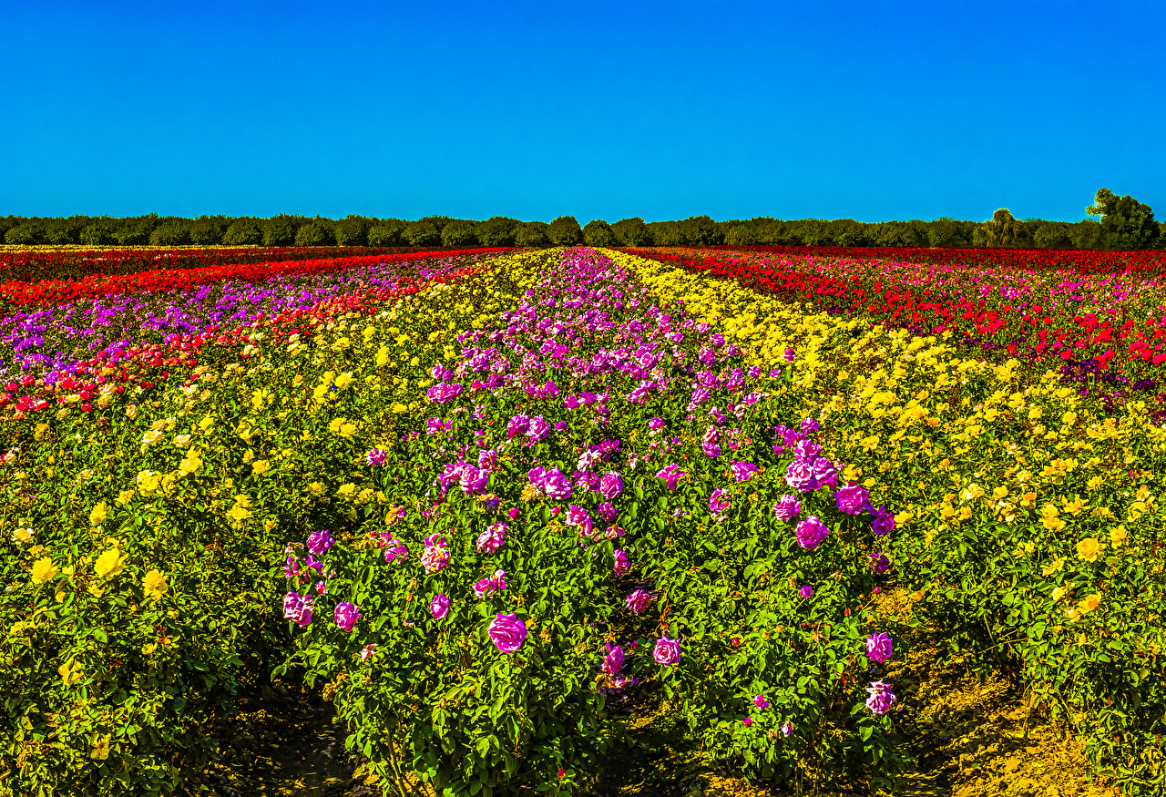 Обои для рабочего стола Разноцветные Розы Поля цветок Много Кусты роза Цветы кустов