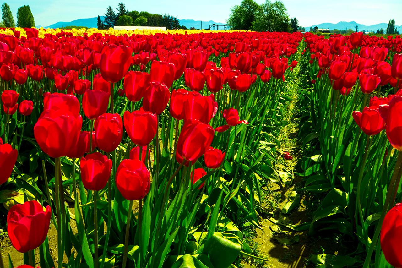 Картинка Красный Тюльпаны Поля цветок тюльпан красная красные красных Цветы