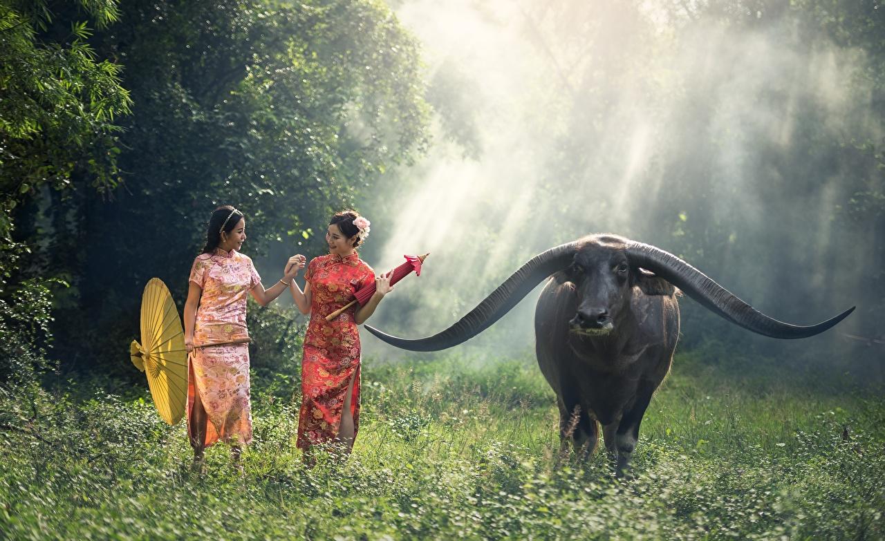 Фотографии Быки Рога Девушки Азиаты Зонт Трава Животные