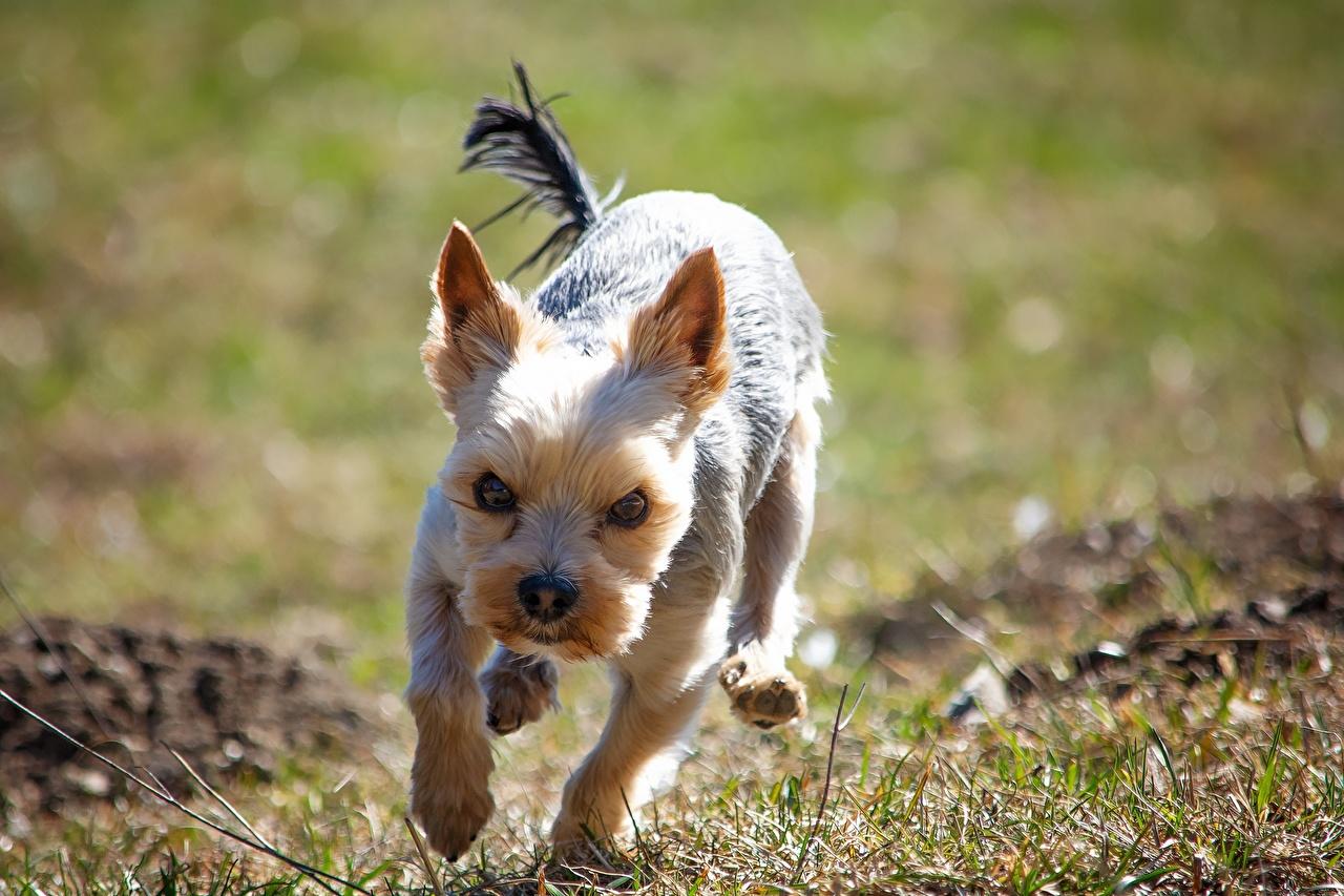 Фотография Йоркширский терьер Собаки Бег Недовольство траве Животные собака бежит бегущая бегущий Хмурость Трава животное