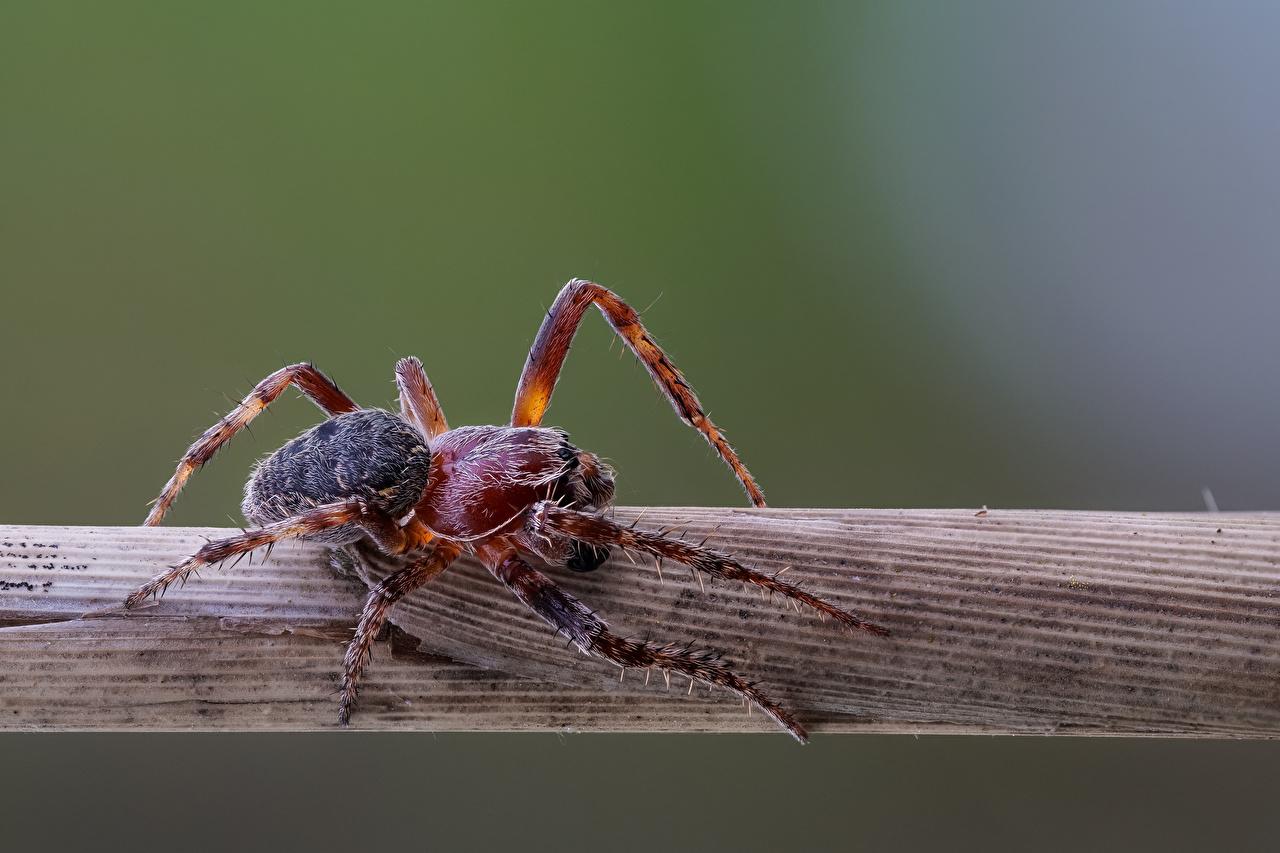 Фотографии Пауки araneidae Членистоногие Животные Крупным планом вблизи животное