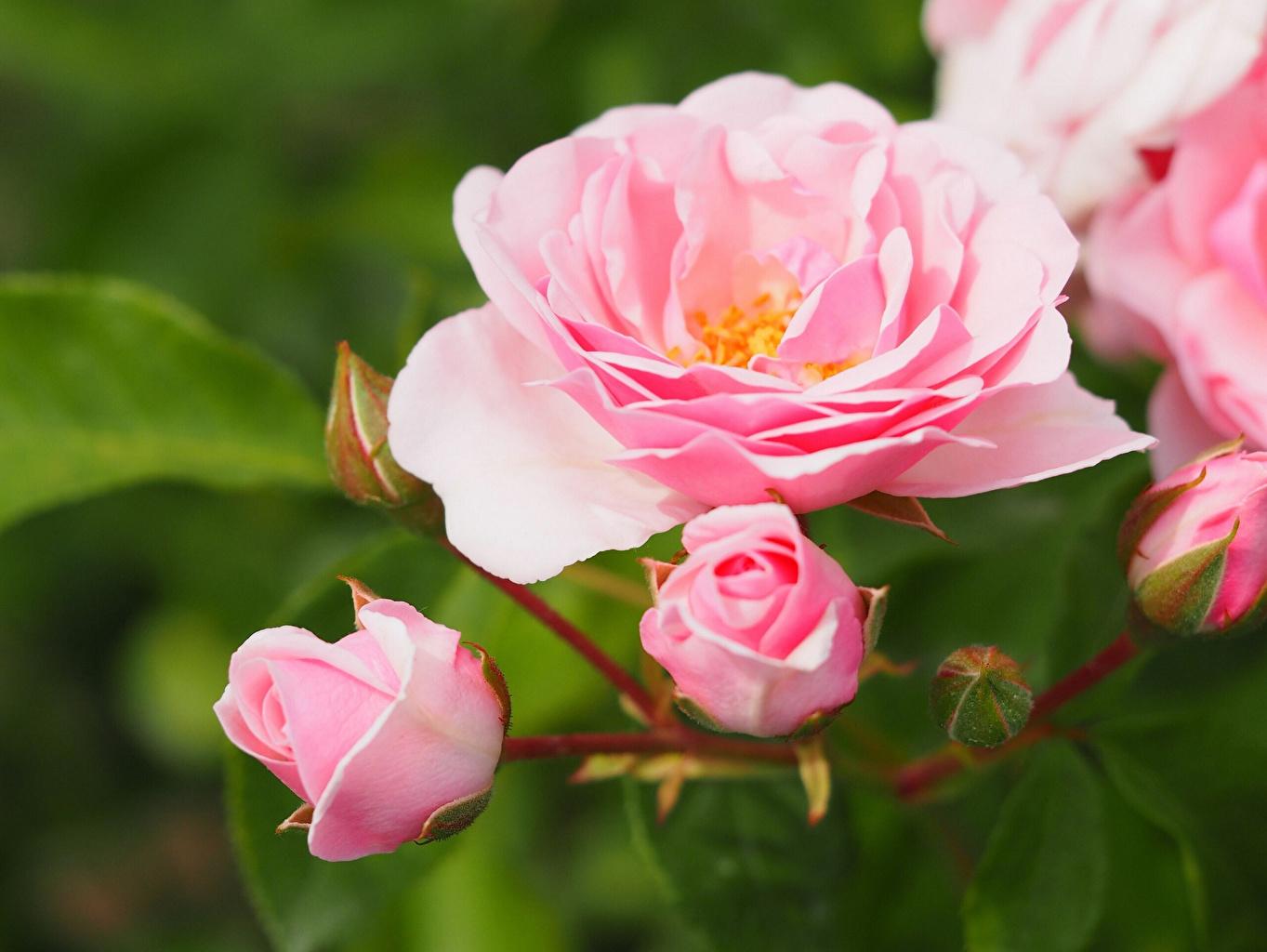 Обои для рабочего стола роза розовые цветок вблизи Розы розовая Розовый розовых Цветы Крупным планом