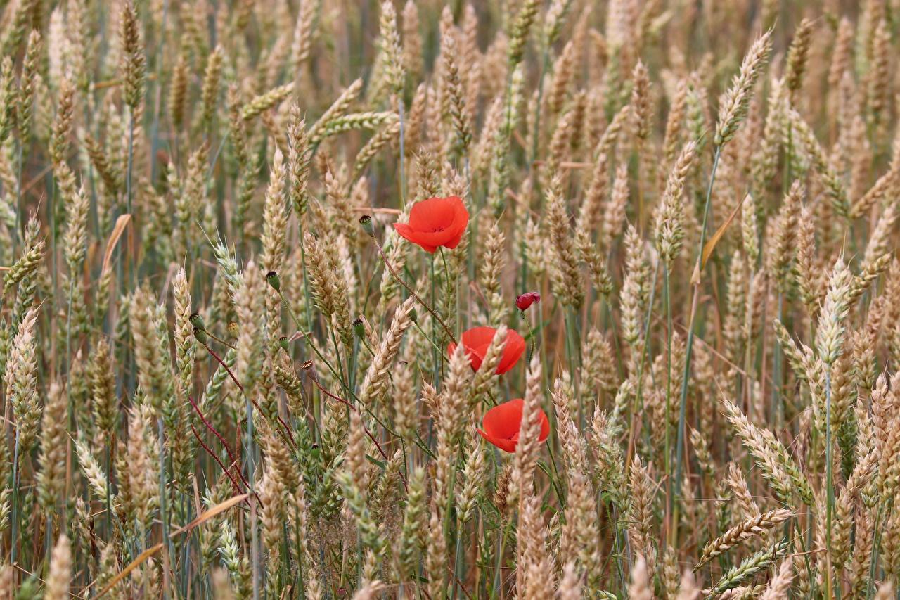 Картинки Пшеница мак Поля Колос Цветы Маки цветок колосок колоски колосья