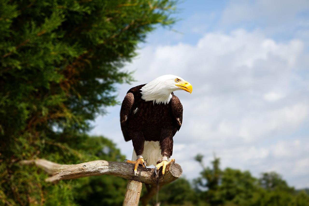 Фотографии Белоголовый орлан орел птица ветка Взгляд Животные Орлы Птицы ветвь Ветки на ветке смотрит смотрят животное