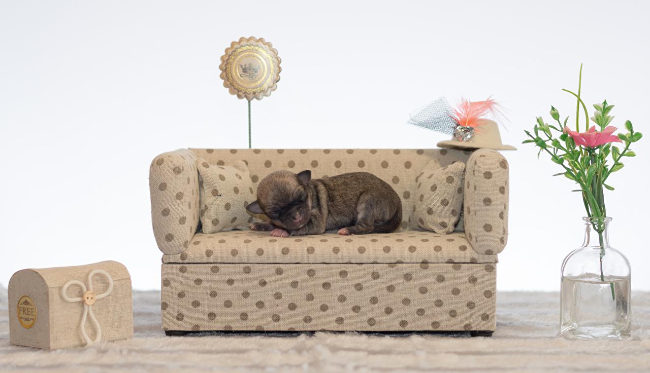 Картинки Чихуахуа Собаки Спит шляпе диване животное собака сон спят шляпы Шляпа спящий Диван Животные
