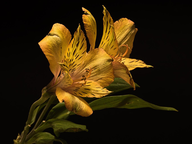 Картинка Двое Желтый цветок Альстрёмерия вблизи на черном фоне 2 два две вдвоем желтая желтые желтых Цветы Черный фон Крупным планом