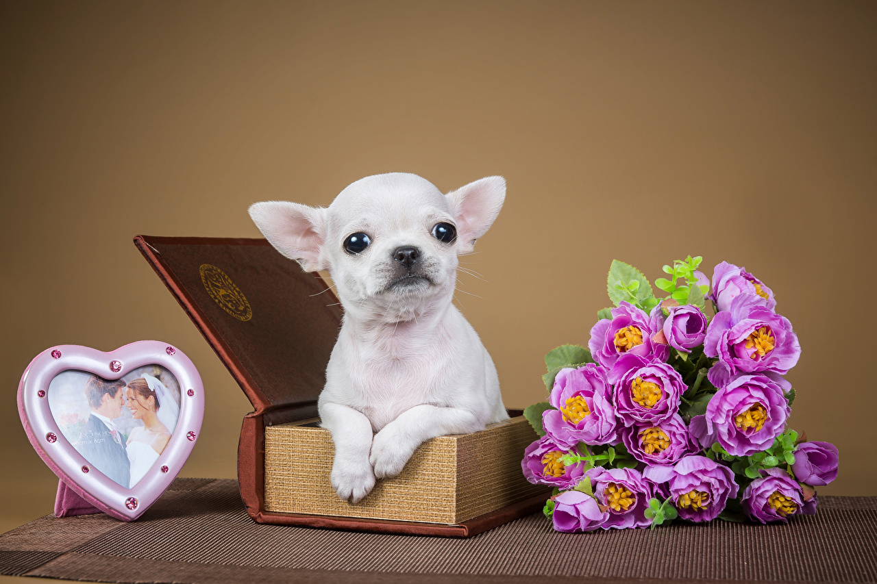 Фотографии Чихуахуа День всех влюблённых Собаки Сердце Букеты Розы Животные День святого Валентина сердечко
