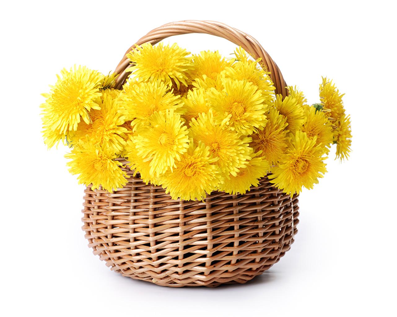 Фотография желтая цветок Корзинка Хризантемы Белый фон желтых желтые Желтый Цветы корзины Корзина белом фоне белым фоном