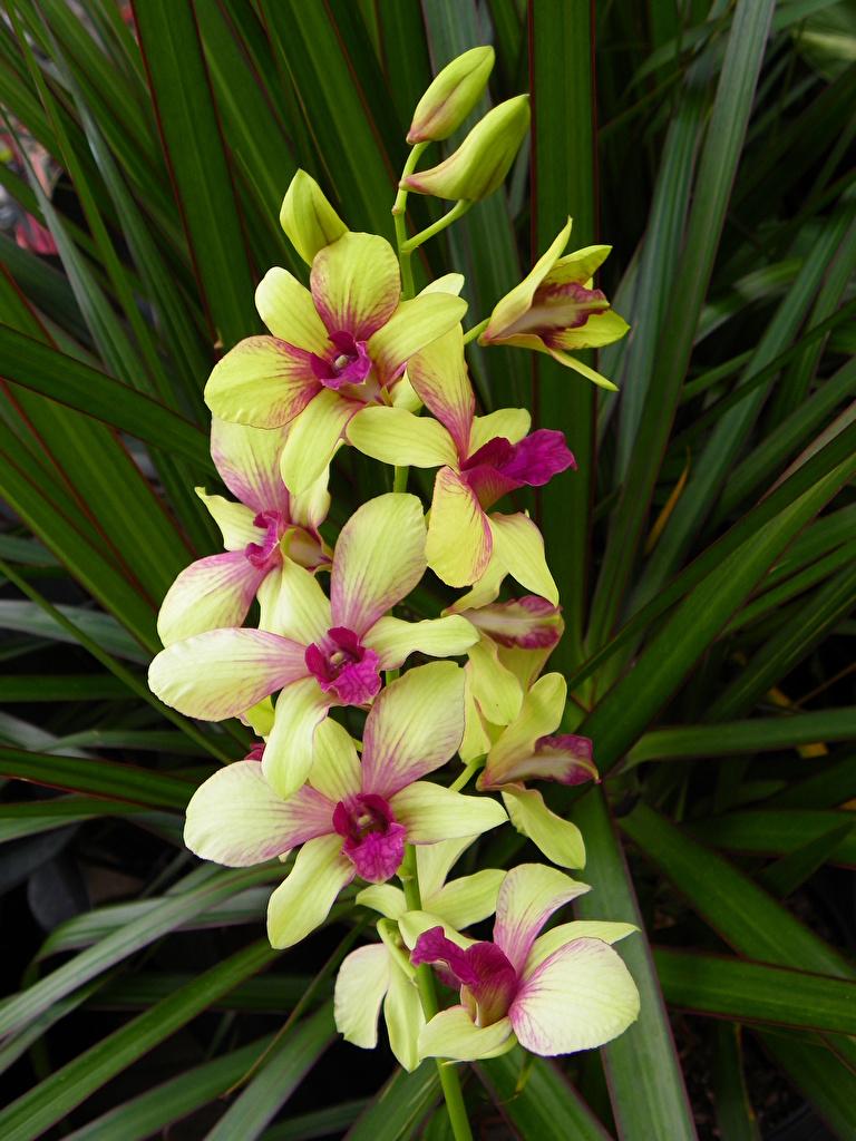 Картинки Орхидеи цветок  для мобильного телефона орхидея Цветы