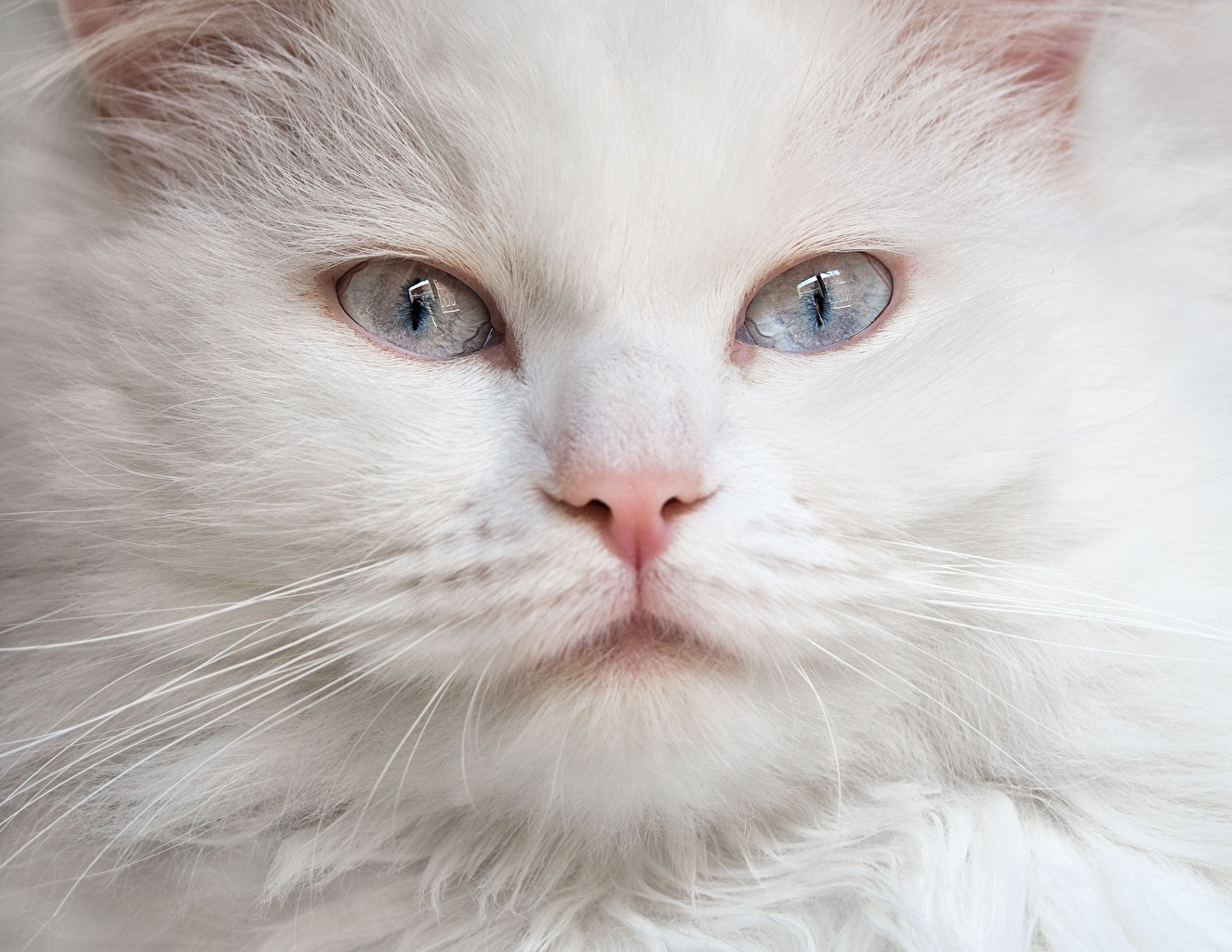 Картинка Коты Белый Морда смотрит Животные Кошки Взгляд