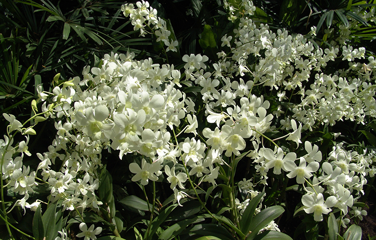 Картинка белые орхидея Цветы Много Белый белая белых Орхидеи цветок