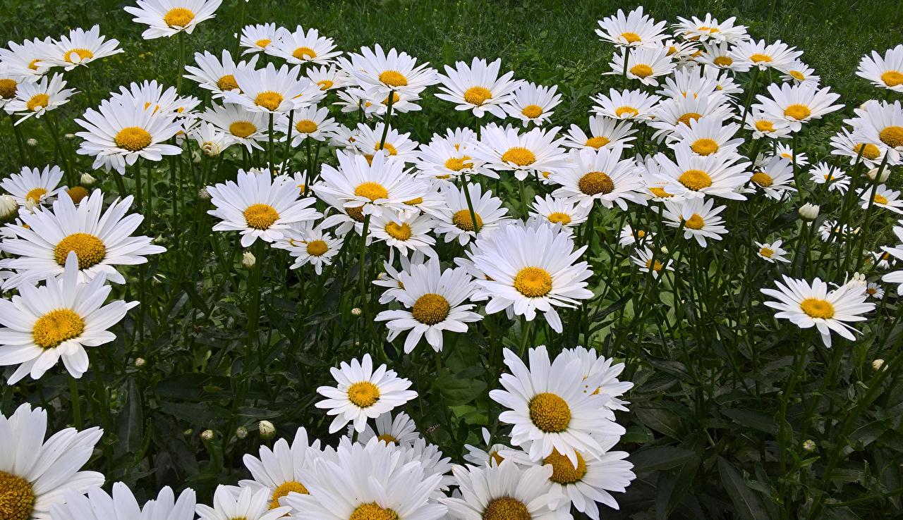 Фотография Цветы ромашка вблизи цветок Ромашки Крупным планом