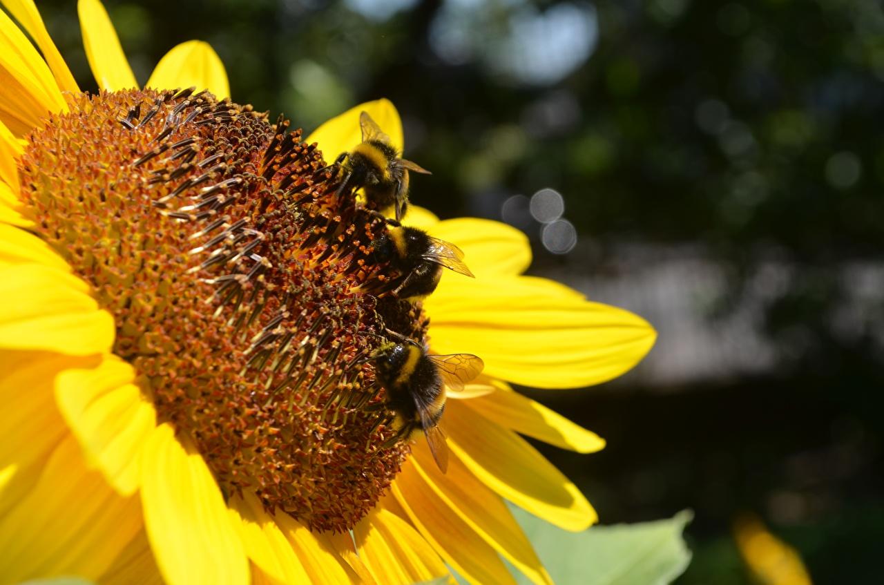Обои для рабочего стола цветок насекомое Шмель Подсолнечник вблизи Цветы Насекомые шмели Подсолнухи Крупным планом